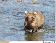 909 September 2018 NPS photo 2019 Bears of Brooks River book, page 34