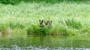 132's 3 spring cubs June 28, 2021 NPS photo by Ranger naomi Boak (aka NSBoak)