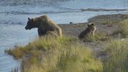 402 and yearling (503) near the mouth of the Brooks River July 1, 2014 .03