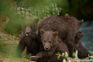 402's 4 spring cubs July 2015 photo by ©Theresa Bielawski .01