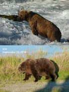 2014 FAT BEAR TUESDAY 2014.09.30 15.30 KNP&P FB POST 410 2014.06.27 vs 2014.09.22 PHOTOS ONLY
