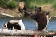 803's 2 spring cubs July 17, 2020 photo by Lee Pastewka (aka RiverPA) .01