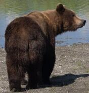 INFO BEARS SEEN 2018.06.01 17.00 409 or WHO RANGER RUSS 2018.06.02 09.51 COMMENT w PHOTO - 151 WALKER MAYBE PIC ONLY ZOOM