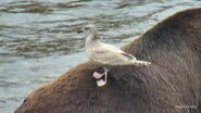 2017.10.01 10.54 BF 68 w GULL ON HIS BACK SP-GA