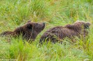 """284 """"Electra"""" and 1 of 2 spring cubs September 12-September 17, 2020 photo by ©Theresa Bielawski .01"""