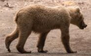 INFO BEARS SEEN 2018.06.02 MORNING BLOND SUBADULT 128s RUNT MAYBE RANGER RUSS 2018.06.02 10.28 COMMENT PIC 01 ONLY ZOOM