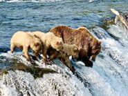 402 and 3 yearlings July 6, 2019 NPS photo by Katmai Conservancy Ranger Naomi Boak