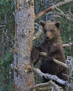 BEADNOSE 409 PIC 2016.07.16 - 2016.07.21 1 of 2 SPRING CUBS TREED TRUMAN EVERTS POSTED 2016.08.29 08.20