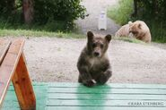 435 Holly and spring cub July 2020 photo by Kara Stenberg from Brooks Lodge's September 8, 2020 Facebook post