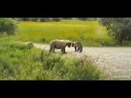 482 cubs and sow and 3 cubs on spit road aug 3rd 2020