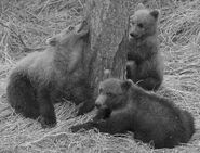 GRAZER 128 PIC 2016.07.16 21.23 HER 3 SPRING CUBS ONLY TRUMAN EVERTS POSTED 2016.08.29 18.13