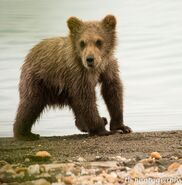 273's spring cub 809 Late July 2015 photo by ©Theresa Bielawski .02