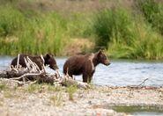 803's 2 spring cubs July 17, 2020 photo by Lee Pastewka (aka RiverPA) .02