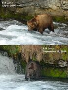 2014 FAT BEAR TUESDAY 2014.09.30 09.30 KNP&P FB POST 814 LURCH 2014.07.05 vs 2014.09.19 PHOTOS ONLY