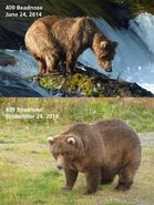 2014 FAT BEAR TUESDAY 2014.09.30 10.30 KNP&P FB POST 409 BEADNOSE 2014.07.24 vs 2014.09.24 PHOTOS ONLY