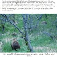 BEADNOSE 409 PIC 2018.06.06 & FEW DAYS PRIOR 856 COURTING 409 BROOKS RIVER BEAR MATING SEASON BLOG 2018.06.06 MIKE FITZ EXPLORE PIC w INFO