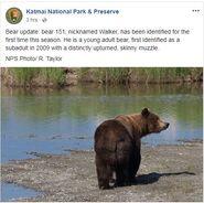 INFO BEARS SEEN 2018.06.01 17.00 KNP&P 2018.06.03 08.59 FB POST - THIS BEAR IS 151 WALKER
