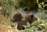 2 of 402's 4 spring cubs July 2015 photo by ©Theresa Bielawski .02