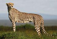 Cheetah (Animals)