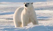 Bear, polar (Ursus martimus)