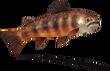 Tiger Rockfish (Sky SC).png