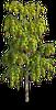Tree-Birch