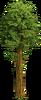 Tree-Large sequoia
