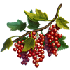 Redcurrant Seeds.png
