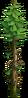 Tree-Dry fir-tree