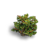 Shrub-Rare shrub