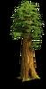 Tree-Huge sequoia