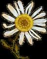 Autumn chamomile