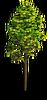 Tree-Summer sapling