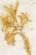 Studium lilii