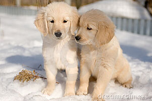 Two-golden-retriever-puppies-snow-17553511
