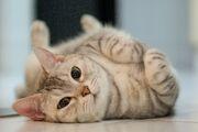 Cat-rolling-GettyImages-165893132-58ac5ef05f9b58a3c90a144f.jpg