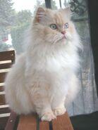 Persiancat