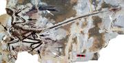 Microraptor gui holotype.png