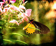 Spread your wings and prepare to fly, for you have become a butterfly...jpg