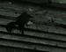 Mountain raven.png