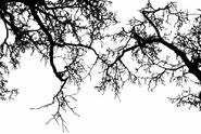 Branche-d-arbre-morte-noire-et-blanche-52019065