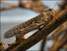 Migratory-locust.jpg