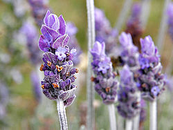 Single lavendar flower02.jpg