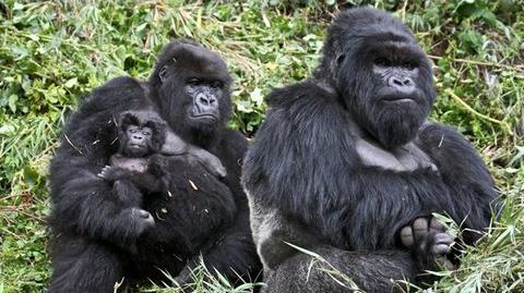Gorillas..._98.6%_Human