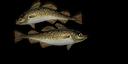 Codfish.png