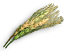 Wild Barley.png