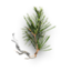 Pine sprout.png