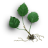 Aspen sprout.png