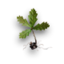 Oak sprout.png