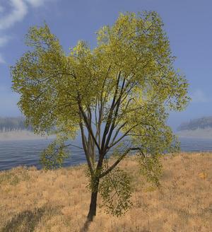 Elm tree.png